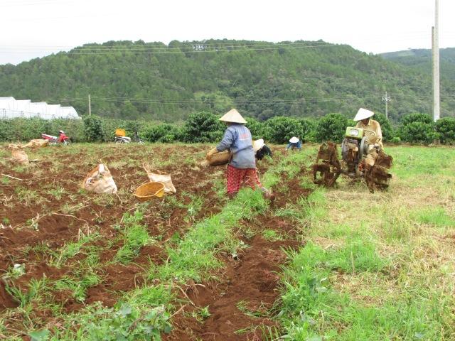 Thu hoạch khoai tây